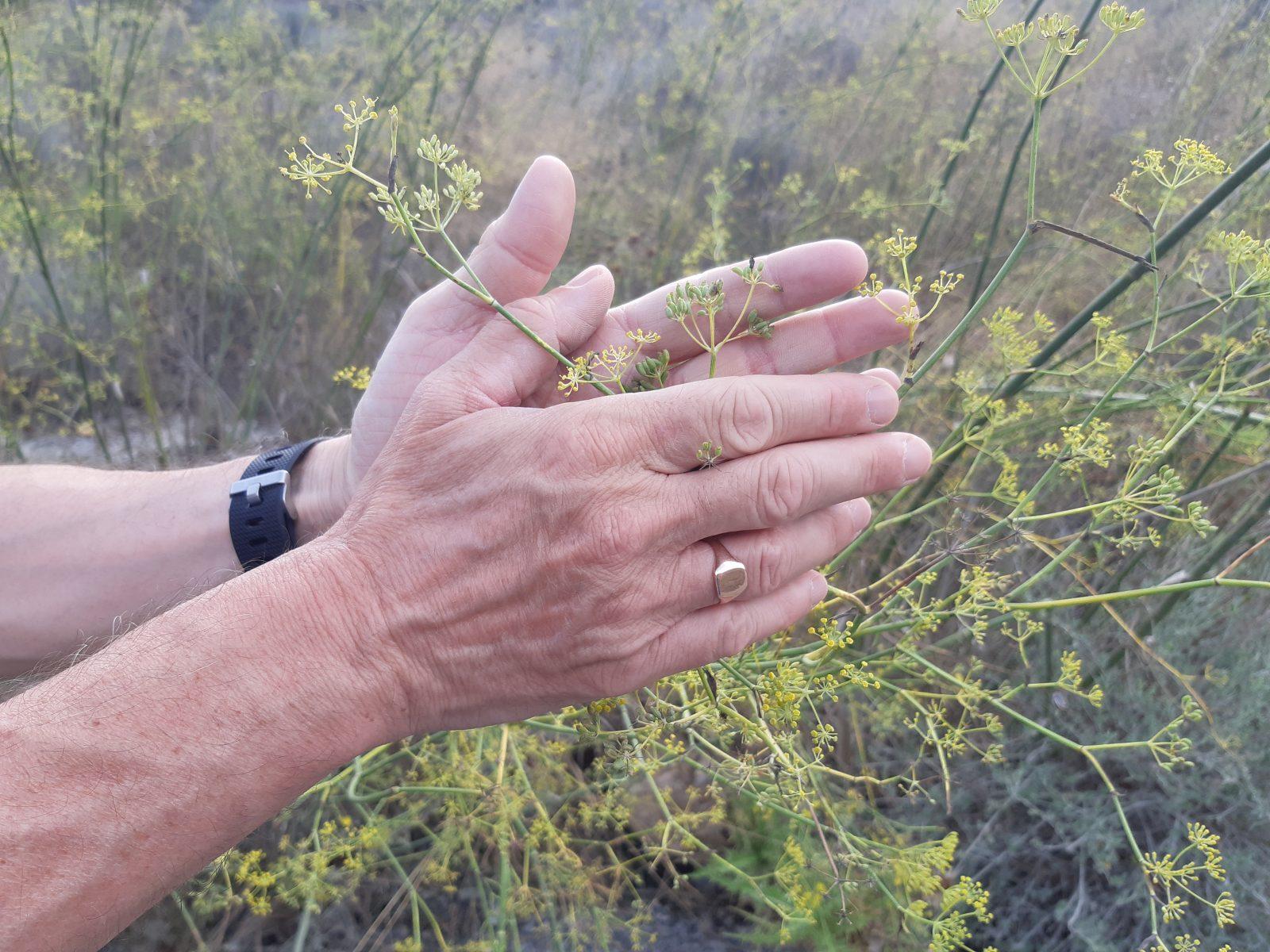 wild fennel seeds Siera de la Muela